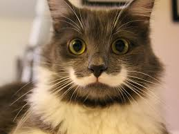 picture of a cat with a fur moustache